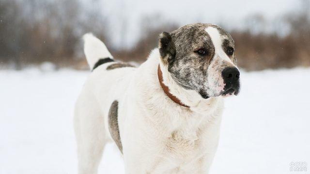 Собака алабай на природе зимой