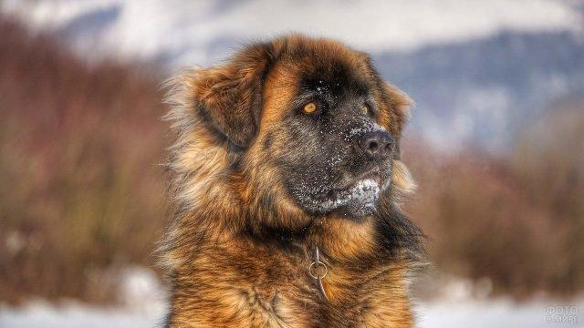 Собака породы Алабай с рыжими глазами