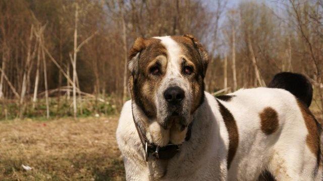 Взрослая пятнистая собака алабай