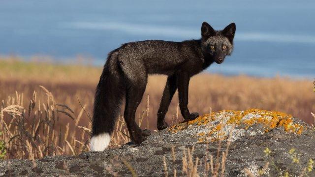 Чернобурая лиса стоит на камнях