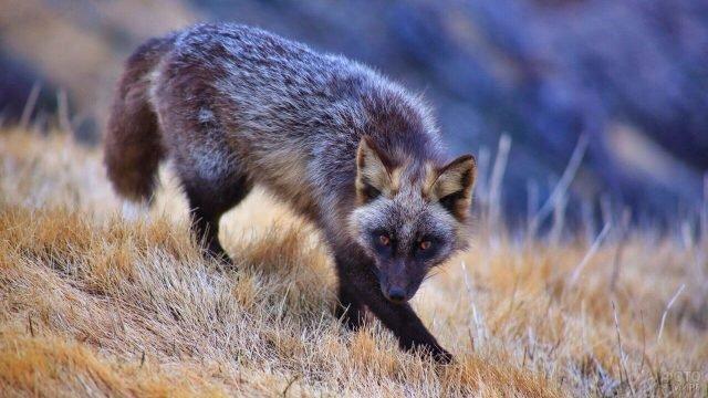 Чернобурка бежит по высохшей траве