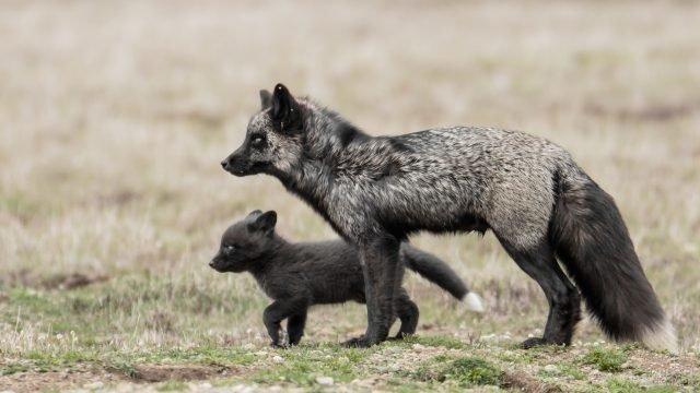 Чернобурка со своим детёнышем