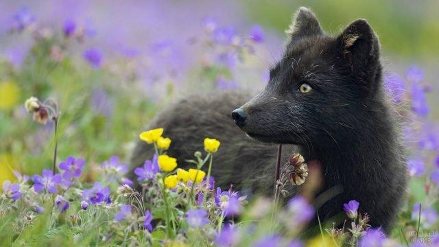 Чёрная лисица в окружении цветов