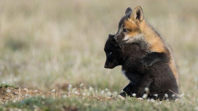 Чёрный и рыжий лисёнок играют на полянке