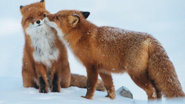 Две лисички в зимнем лесу одна нюхает другую