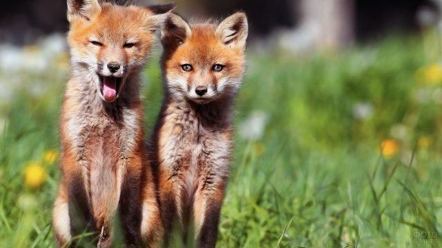 Две рыжих лисицы сидят на полянке