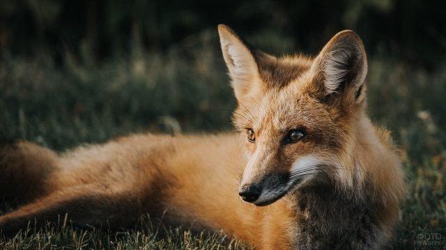 Худенькая лисичка отдыхает на траве