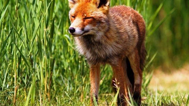 Красная лиса бежит по тропинке с закрытыми глазами