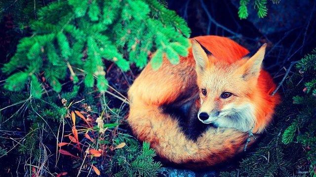 Красная лиса лежит под ветками елей