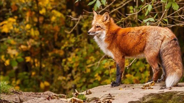 Красная лиса с шикарным хвостом стоит на камнях
