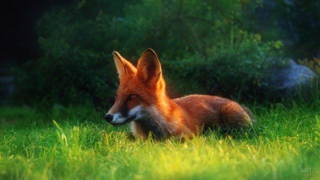 Красная лисица бежит по зелёной траве