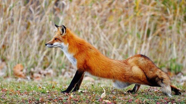 Красная лисица потягивается