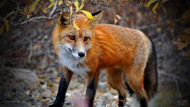 Красная лисичка идёт по камням