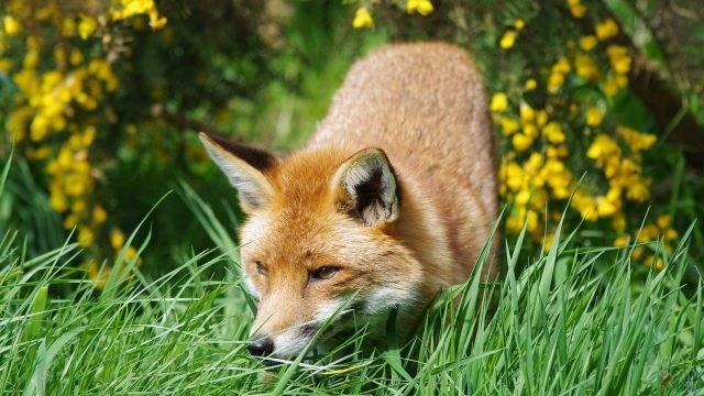 Лисица крадётся в зелёной траве