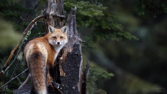 Лисица на дереве обернулась назад
