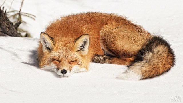 Лисица спит на снегу