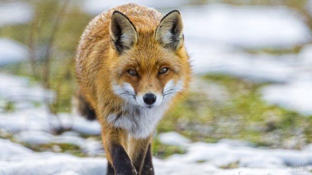 Лисичка бежит вперёд