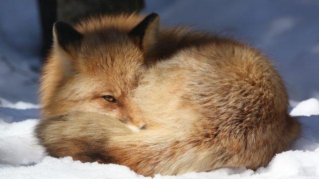 Лисичка улеглась клубочком на снегу