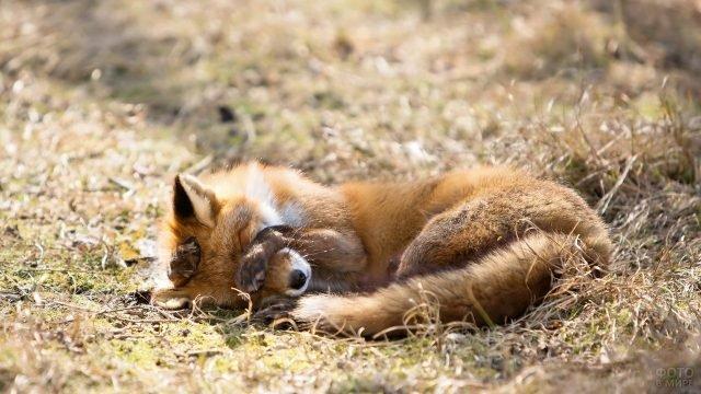Лисичка закрыла лапами глаза