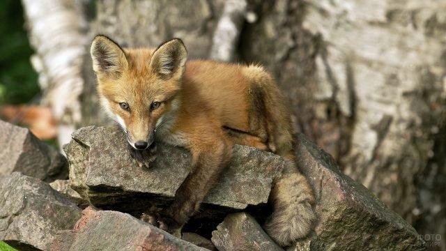 Маленькая лисичка взбирается на камни