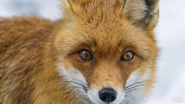 Морда лисицы крупным планом
