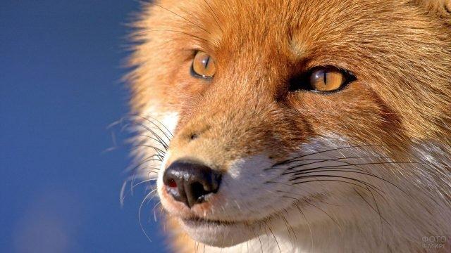 Мордочка лисы на фоне синего неба