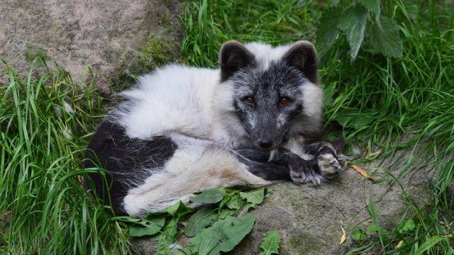 Мраморная лисица лежит в траве