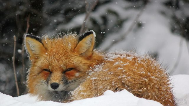 На рыжую лисицу падает снежок