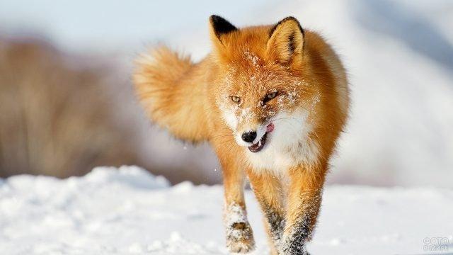 Облизывающаяся лиса бежит по снежной тропинке