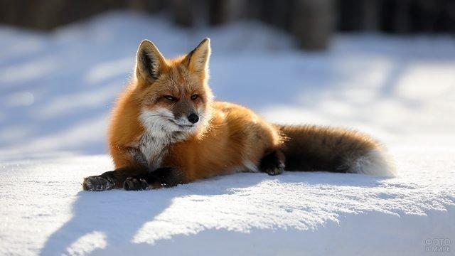 Рыжая лиса прилегла на снежок