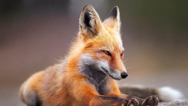 Рыжая лисица лежит с вытянутыми лапками