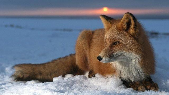 Рыжая лисица с белой манишкой лежит на закате