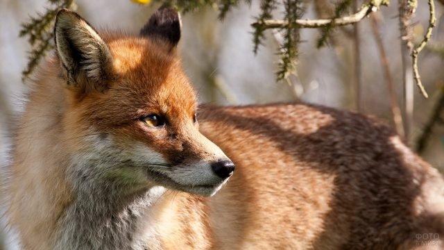 Рыжая лисица с белой мордой под ветками деревьев