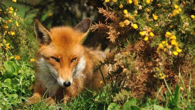 Рыжая лисица сидт в окружении жёлтых цветов