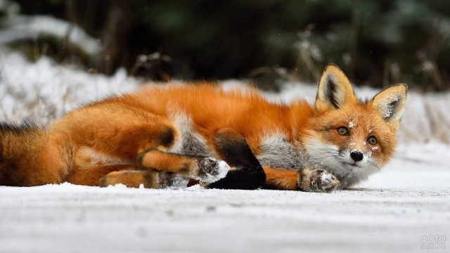 Рыжая лисица улеглась на бочок