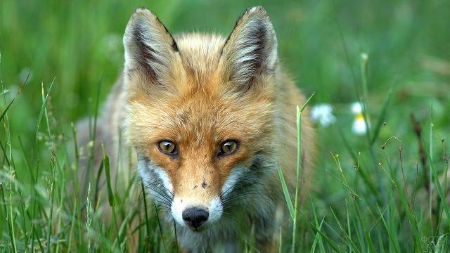 Рыжая лисица выглядывает из травы