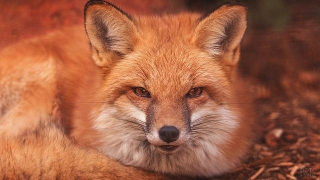 Рыженькая лиса в осеннем лесу