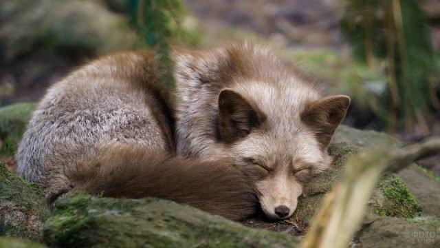 Серая лисица мирно спит свернувшись клубочком