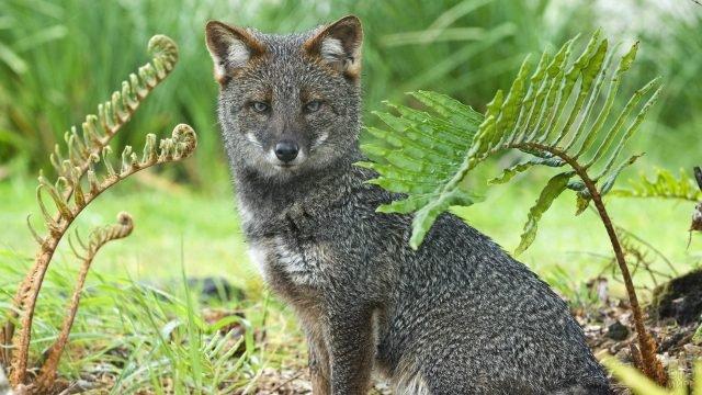 Серая лисица сидит в траве