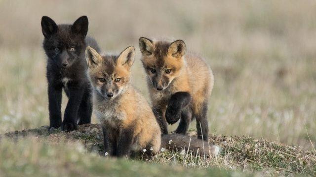 Три маленьких лисёнка сидят на траве