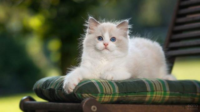 Голубоглазый котёнок сидит на стуле в саду