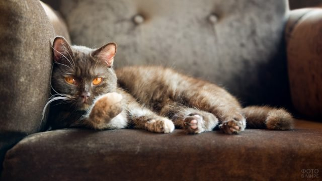 Коричневая кошечка под цвет дивана