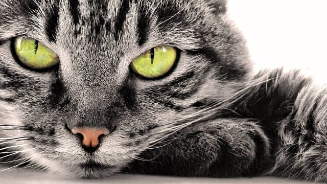 Кошачья морда с жёлтозелёными глазами