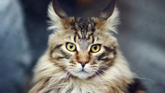 Кошка с ушами-кисточками смотрит в кадр