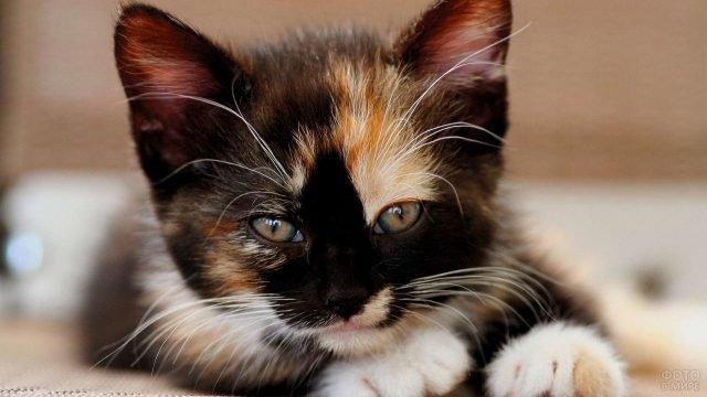 Котёночек необычной расцветки жмурит глазки