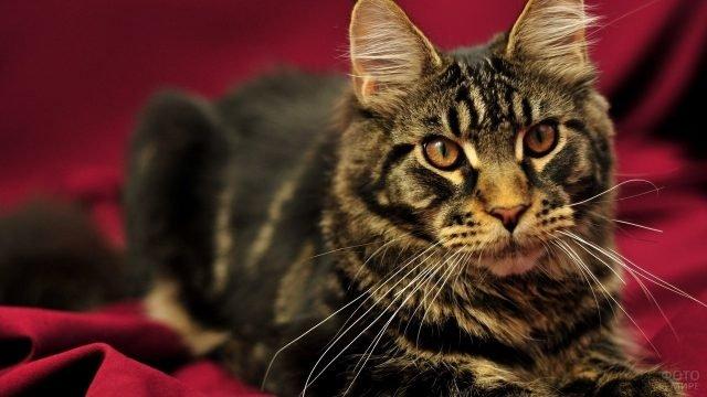 Красавец котик на бордовом фоне