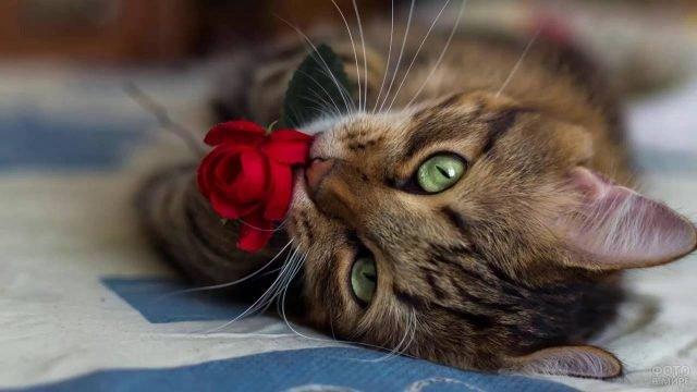 Красавица кошка держит розочку в лапках