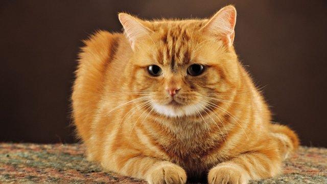 Красивый рыжий котейка сидит на паласе