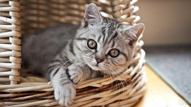 Маленькая кошечка выглядывает из плетёной корзины