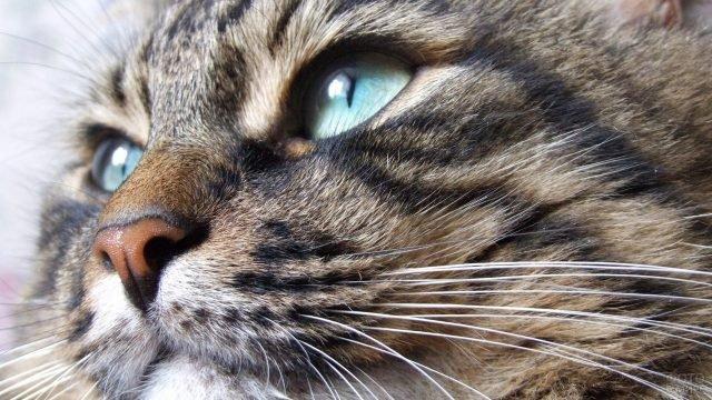 Очень красивая морда кошки с голубыми глазами